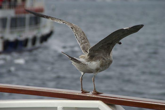 Seagull starting to take off