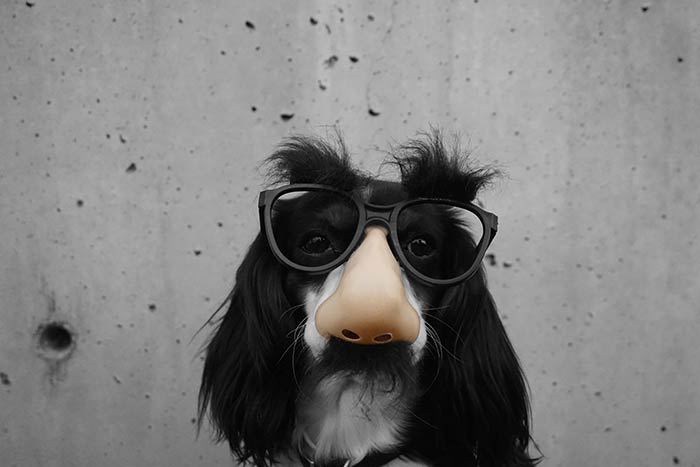 Dog with fake nose and glasses